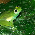 Teratohyla Glass frog