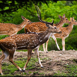Spotted Deer by Krishna Rajeev - Animals Other Mammals ( serpent eagle at bandipur national park )