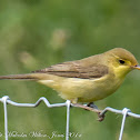 Willow Warbler; Mosquitero Musical