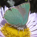 Coastal Green Hairstreak