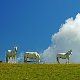 Summer pasture by Edvard Storman Badri - Animals Horses ( pasture, mountain, blue sky, horses, white, cloud )
