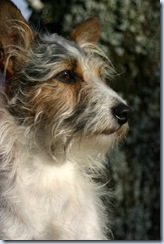 hellhound - terrier - dreamstime_214478
