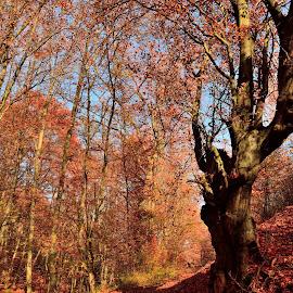 vivid 2 by Ioana Draghiciu - Nature Up Close Trees & Bushes ( autumn, fall, autumn colours, forest, leaves )