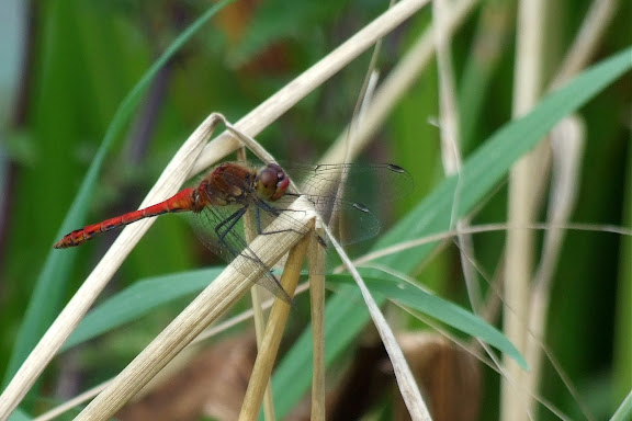 More dragonfly