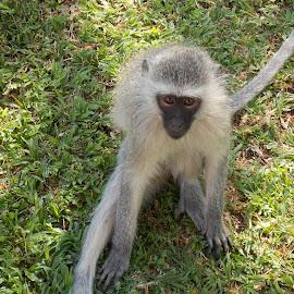 Vervet Monkey by James Moffat - Novices Only Wildlife ( pilanesberg, south africa, vervet monkey, monkey, bakubung )