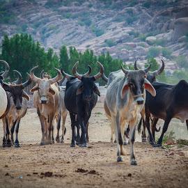 cows by Shahzeb Vakani - Animals Other Mammals ( village, cows )