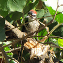 Nuttall's woodpecker ?