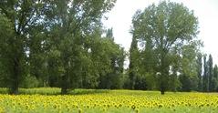 SunflowersWhiZpast