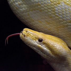 Mr Hiss by Tracy Hughes - Animals Reptiles
