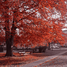 Red Autumn by Ela Biškup - City,  Street & Park  City Parks ( red, park, tree, nature, autumn )