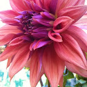 Dahlia var. Purple-orange