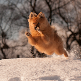 yahoo by Michael  M Sweeney - Animals - Dogs Puppies ( flying, animal kingdom, speed, pro, puppy, michael m sweeney, dog, run, fast, running, pomeranian, hugo pomeriain )