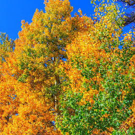 Golden Aspens by Penny McWhirt - Nature Up Close Trees & Bushes ( fall, rockies, gold, aspen )