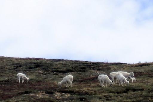 Dall Sheep & Lambs
