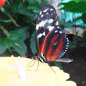 The Tiger Longwing