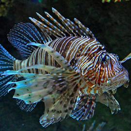 by Cacang Effendi - Animals Fish ( cattery, chandra, fish, aquarium, animal )