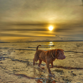 Sunset by Michael Sweeney - Animals - Dogs Running ( water, pet, sharpei, pro, action, dog, light, running, sharpei coast sea sunset scotland, natural ligt )