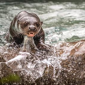 by Heather Allen - Animals Other Mammals ( water, otter, zoo, splash, miami, rock, whisker, teeth, giant, river,  )