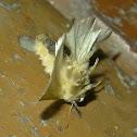 Crazy Cup Moth