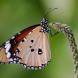 Plain Tiger Butterfly by Palash Halder - Animals Insects & Spiders