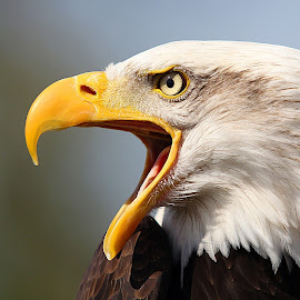 American Bald Eagle  by Mark Dargan - Animals Birds ( bird, eagle, bird of prey, eagles, birds,  )