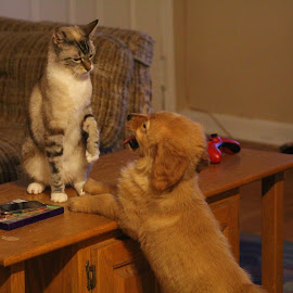 by Todd Yonkers - Animals - Dogs Puppies ( playing, puppy, cute, dog and cat, golden retriever )