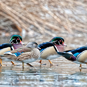 woodies  by Cody Hoagland - Animals Birds ( ducks )