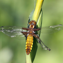 Broad Boddied Chaser by Paul King - Animals Insects & Spiders