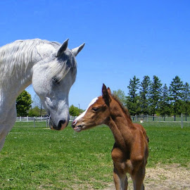 Mom and me by Melissa Parrish - Animals Horses ( horses, horse, mare and foal, arabian, farming, foal )