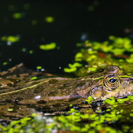The Frog by Adrien Sutter - Animals Amphibians ( frog )