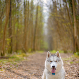 by Paweł Prus - Animals - Dogs Portraits ( intelligent, almond, breed, canis, wood, colorful, pull, show, harsh, cute, sled, siberia, spring, colour, leafs, family, icee, husky, grey, working, smile, coat, sibe, laugh, spitz, white, forest, siberian, portrait, female, color, pet, fall, lupus, outdoor, active, ears, sibirsky, brown, dense, dog )