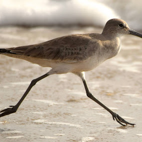 Willet (Winter) by David Montemayor - Animals Birds