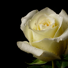White rose with drops by Cristobal Garciaferro Rubio - Flowers Single Flower