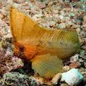 Spiny Leaf-fish