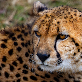 Cheetah 5 by Nigel Bullers - Animals Lions, Tigers & Big Cats ( wild, cat, cheeta, animal )