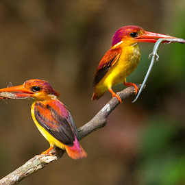 Rufous-backed Kingfisher by Simon Quek - Animals Birds ( nature, nesting, kingfisher, feeding, rufous-backed )