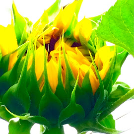 Budding Sunflower with iPhone by Tyrell Heaton - Instagram & Mobile iPhone ( sunflower, iphone,  )
