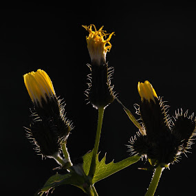 Backlit Hawksbeard by Geoff Soper - Flowers Flower Gardens ( asteraceae, weed, hawksbeard, yellow flower )