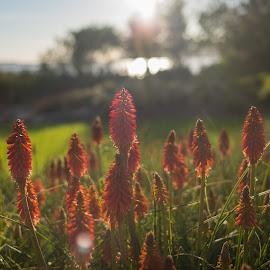 Sunset garden by Juan Tengker - Nature Up Close Gardens & Produce ( red, sunset, leica, garden, flower, norway, island )