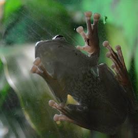 Vietnamese Flying Frog by Robert Briggs - Animals Amphibians ( vietnamese flying frog, frog, flying frog, soar, animal, amphebian )