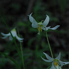 Oregon Trout Lily