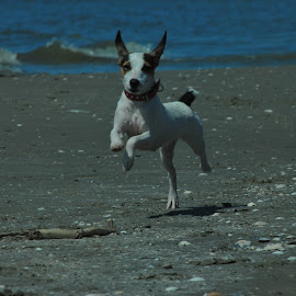 Beach run by Anca Haiduc - Animals - Dogs Running ( sea, wather, beach, dog, run,  )