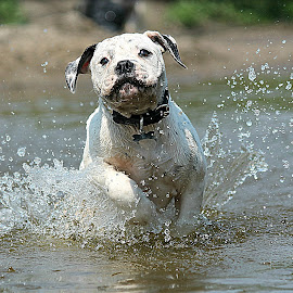 Water Baby by Tasha Chasteen's AmericanBulldogs - Animals - Dogs Puppies ( water, cute puppy, water puppy, splash, water dog, puppy, cute )