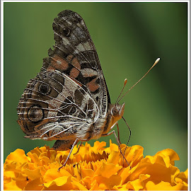Subtle Beauty by Kathy Hancock - Animals Insects & Spiders ( butterfly, macro, marigold, insect, animal )