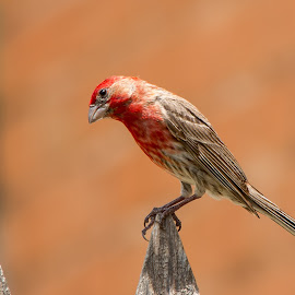 Rosebud on Picket  by Robert Marquis - Animals Birds ( bird, rosebud, nature, picket fence, outdoors, finch, birds )