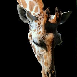 Giraffe by Ralph Harvey - Animals Other Mammals ( giraffe, wildlife, ralph harvey, marwell zoo, animal )