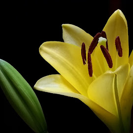 Flower  by Lori Kulik - Nature Up Close Other plants ( plant, up close, yellow, bud, flower )
