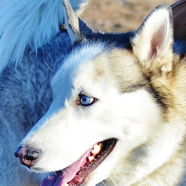 Blue eyed Siberian husky by Esther Lane - Animals - Dogs Portraits ( siberian husky, blue, blue eyes, dog, portrait, animal )
