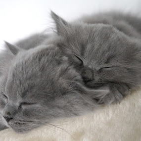 My kittens! by Stefano Rho - Animals - Cats Kittens ( cats, cat, british, grey, kittens, cute, kitty )