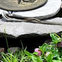 Common Garter Snakes (mating)